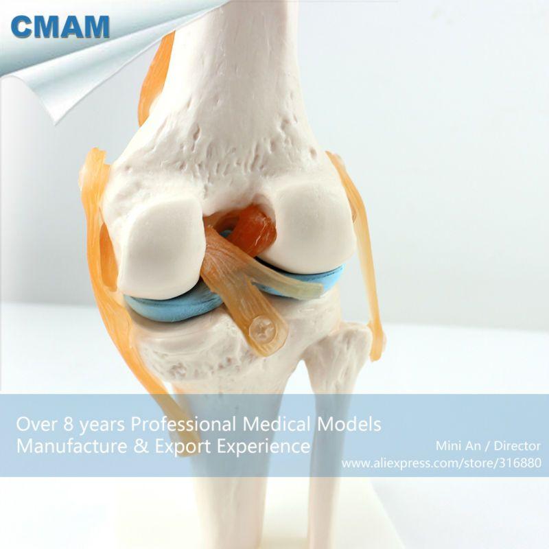 Cmam Joint05 Human Skeleton Knee Joint Anatomy Models School