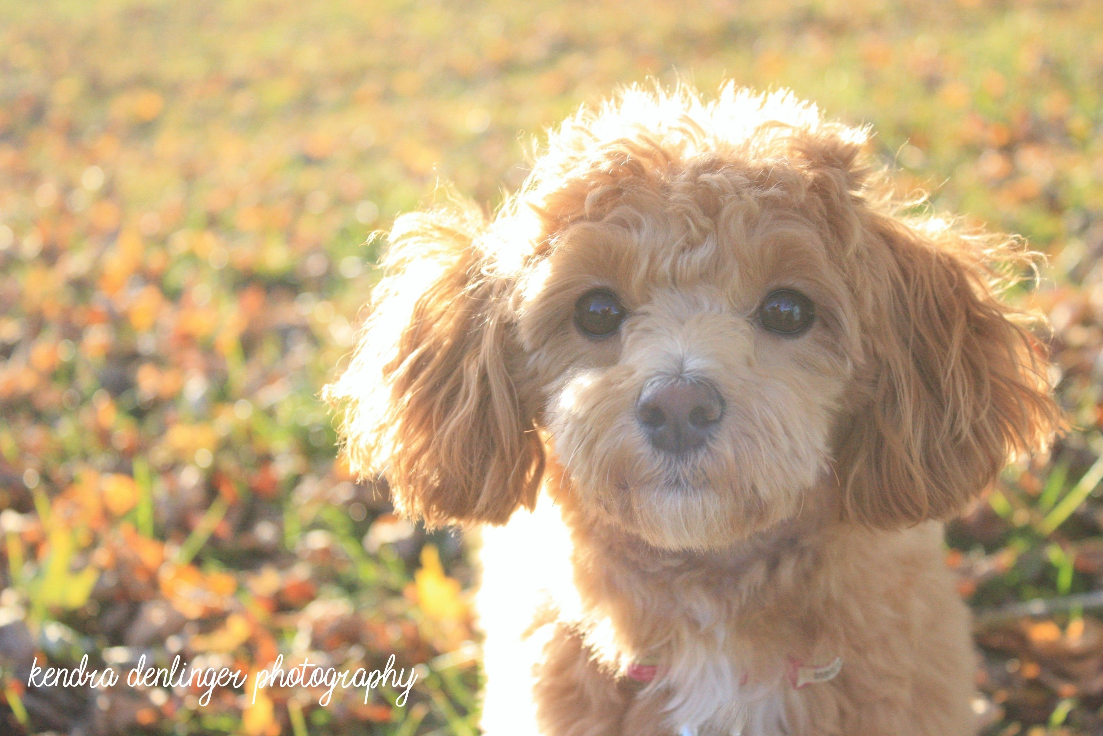 Adopt Chicago On Poodle Mix Dogs Pets Animal Rescue