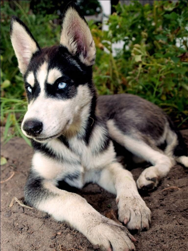 More About Bold Siberian Huskies Puppies Siberianhuskypuppy