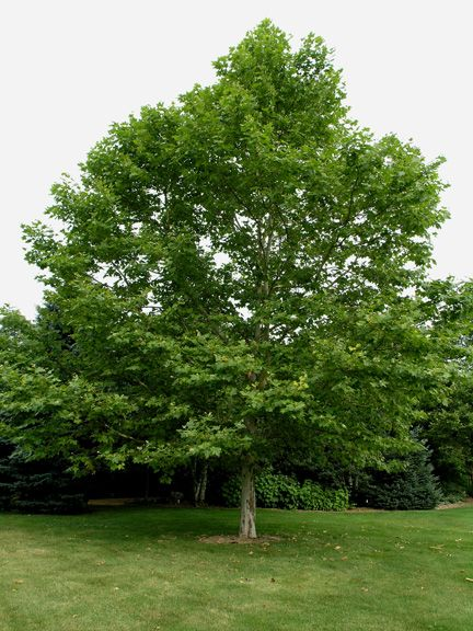 London plane tree yahoo search results gardening for Garden trees london