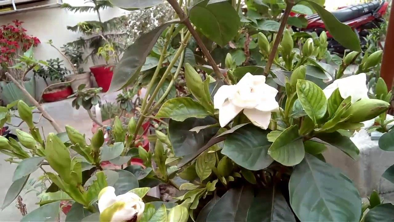 15 Secrets About Gardenia Flower Meaning In Hindi That Has Never Been Revealed For The Past 5 In 2020 Flower Meanings Flowers Gardenia