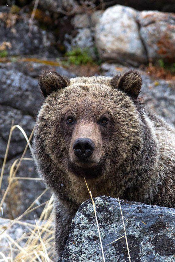 Grizzly Bear Portrait, Wildlife Photography, Bear Fine Art, Bear Wall Decor, Bear Photography, Rob's Wildlife, Brown Bear Closeup, Bear Face #bears