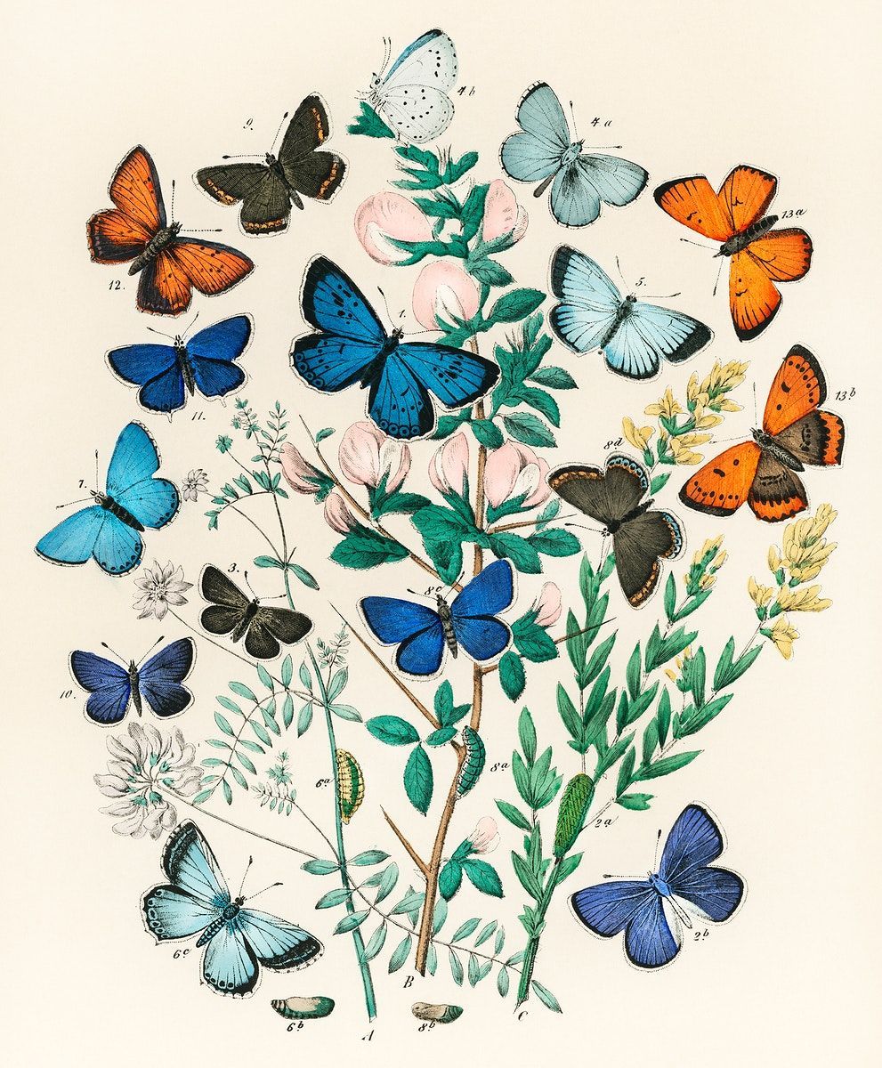 Illustrations From The Book European Butterflies And Moths By William Forsell Kirby 1882 A In 2021 Vintage Butterfly Print Butterfly Illustration Butterfly Wall Art