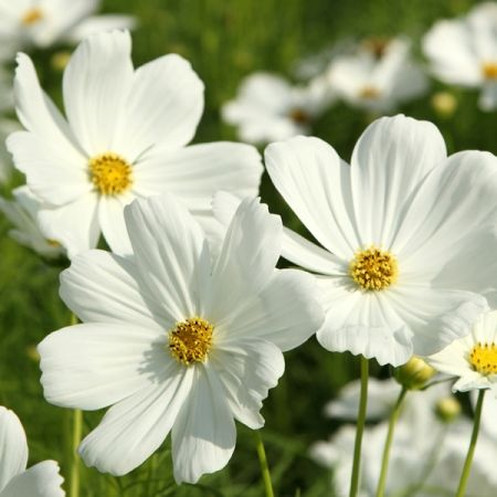 Cosmos Sensation Purity Cosmos Flowers Plants Annual Flowers