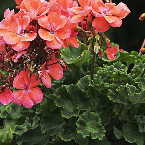 Pelargonia Rabatowa Polecana Na Tarasy Balkony I Rabaty Fot Diego Rios Sxc Plants Flowers Geraniums
