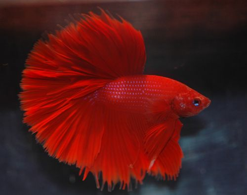 Red betta fish saved from under the for Red betta fish