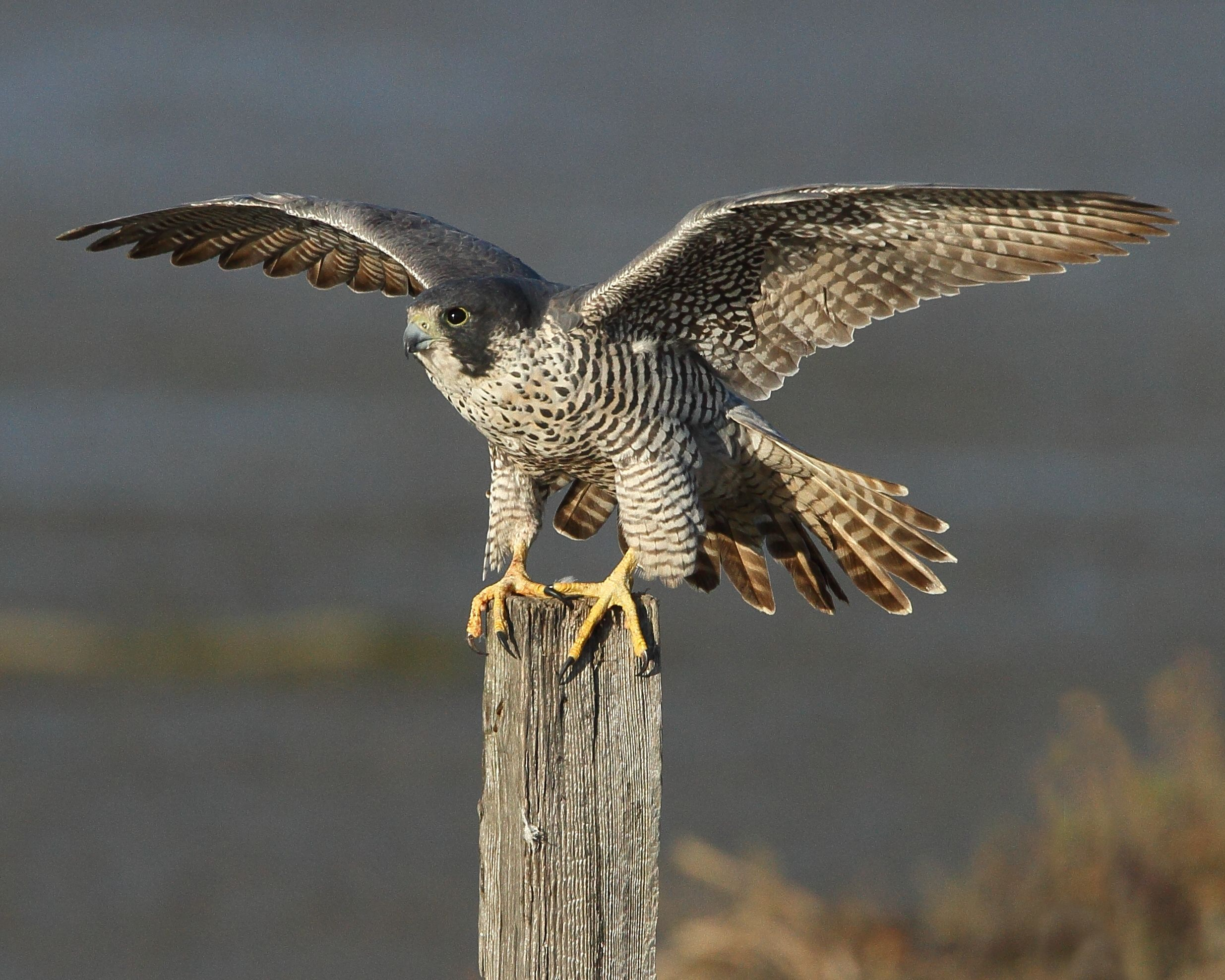 Peregrine Falcon Wallpaper Picture Peregrine Falcon Big Animals Peregrine