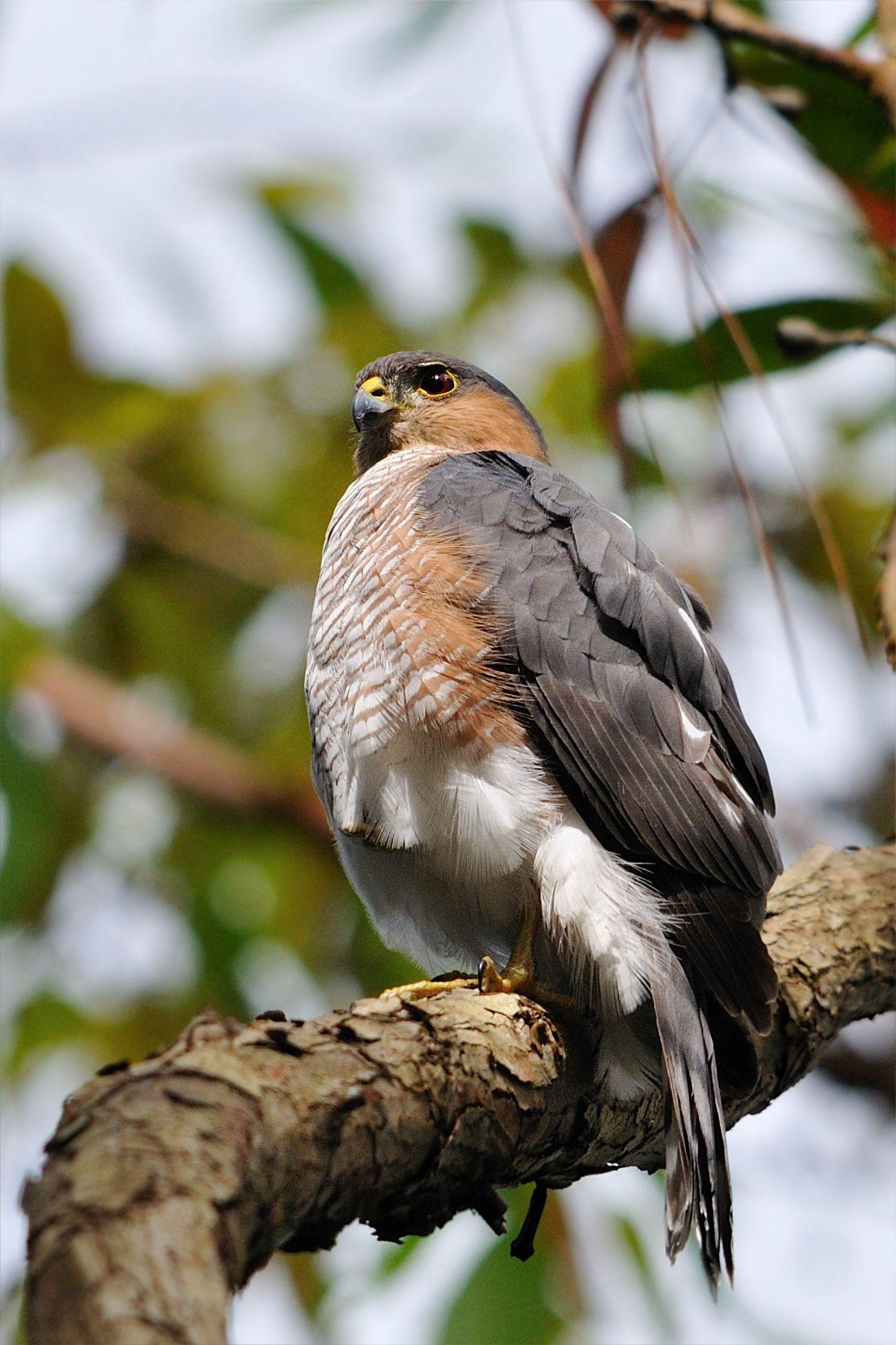 Puerto Rican Sharp Shinned Hawk