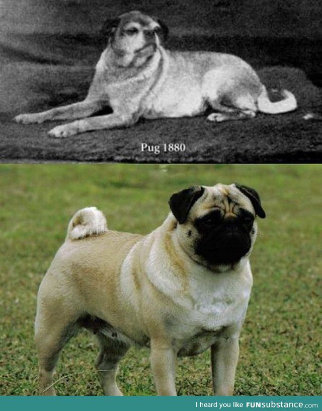 What Pugs Looked Like Before Selective Breeding Selective