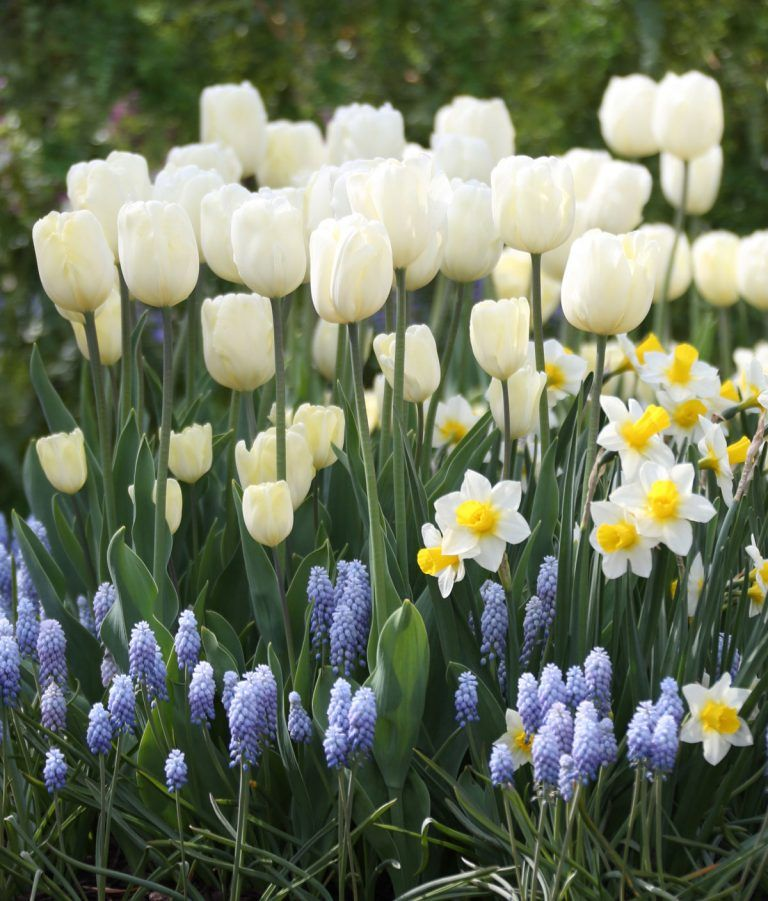 How to Care for Spring Flower Bulbs After They Bloom - Longfield Gardens