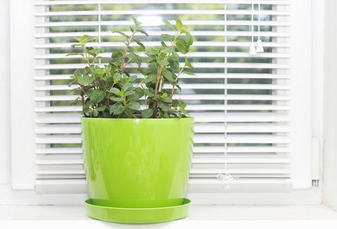 Plantas para espantar mosquitos que puedes tener en casa jardines pinterest - Plantas contra los mosquitos ...