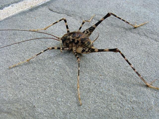 black widow spider crickets camels spiders basement nerd forward camel