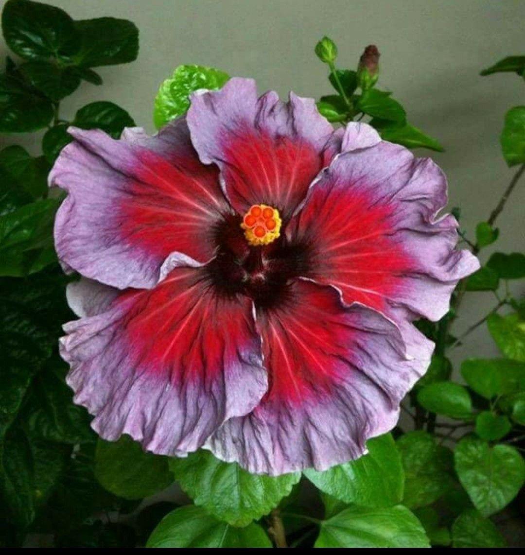 Punnya B Vin Extraordinaire Hibiscus Plant Hibiscus Flowers Flowers Perennials