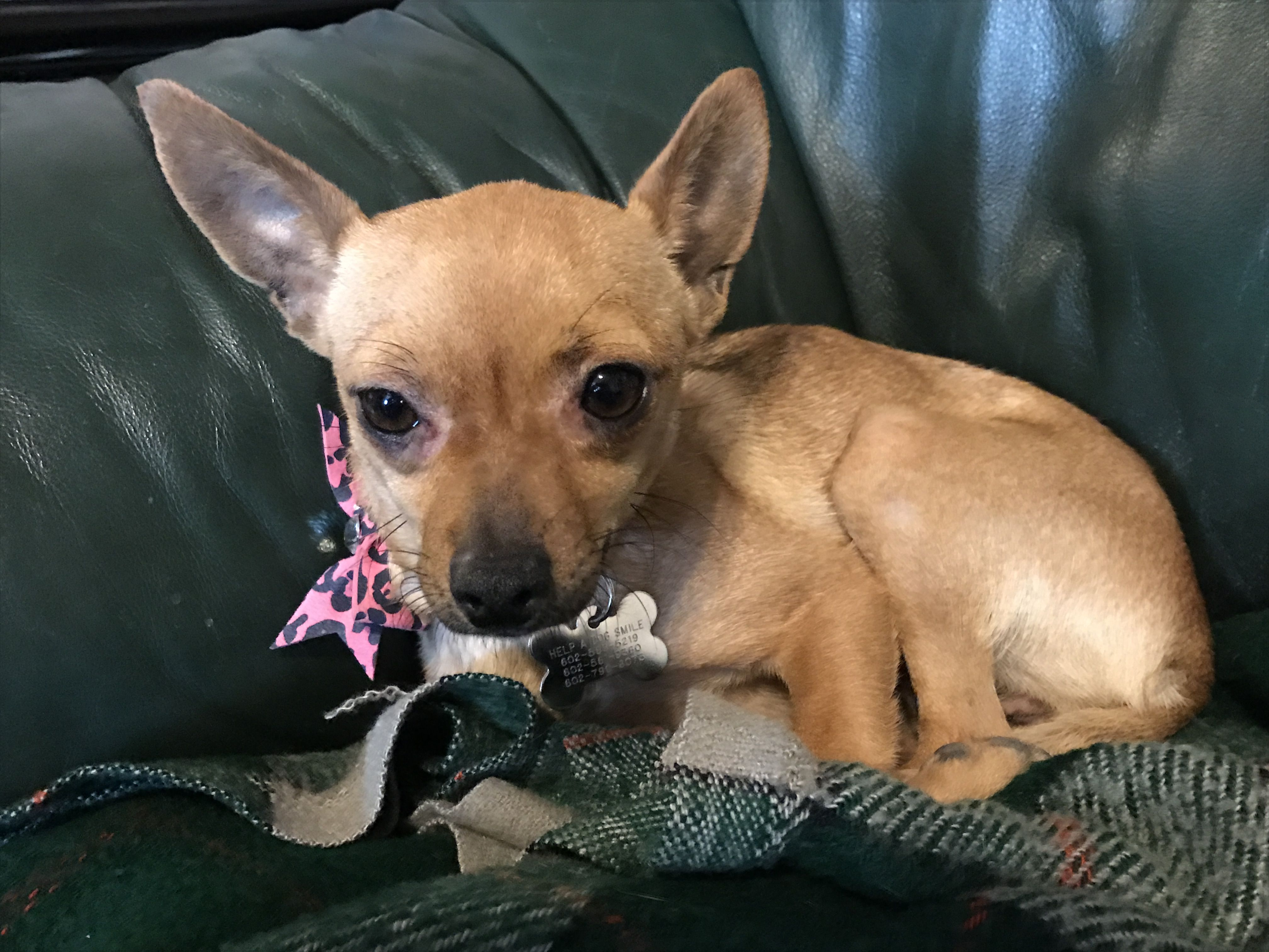 Chiweenie Dog For Adoption In Chandler Az Adn 408680 On