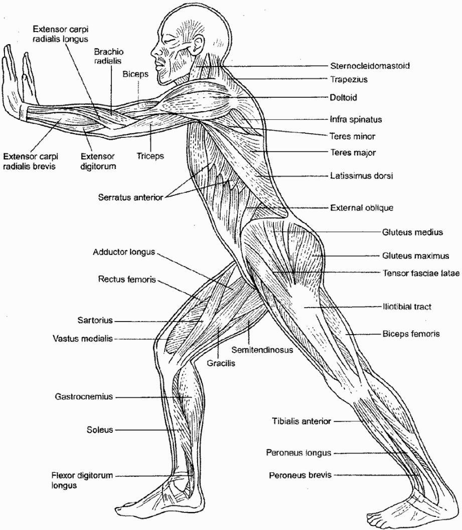 Muscular System Coloring Sheets | Coloring Pages | Pinterest ...