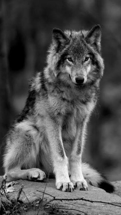 En Noir Et Blanc Loup Sauvage Yeux De Loup Fond D Ecran Loup