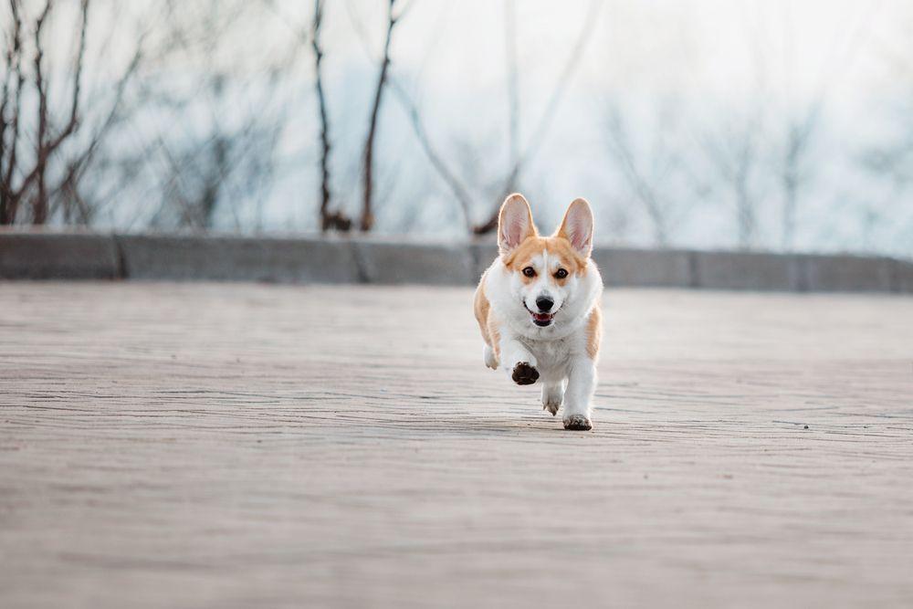 @DOG ?? OMG! How Cute! ?? Tag Someone Who Would Love This Puppy! ?????? Follow for more ! #dog ,#dogslover , #funnydog #dog #lovedogs #doggy #doglife #mydog #dogs #ilovemydog #doglover #dogoftheday #frenchbulldog #bulldog #nationaldogday #dogsitting #instadogs #doglove #happydog #lovemydog #dogslife #englishbulldog dogsofnyc #doggie #cutedog #dogtraining #dogpark #doglovers #doggies #dogmodel #doglife #instadogs corgi corgi funny corgi memes corgi butts corgi puppy