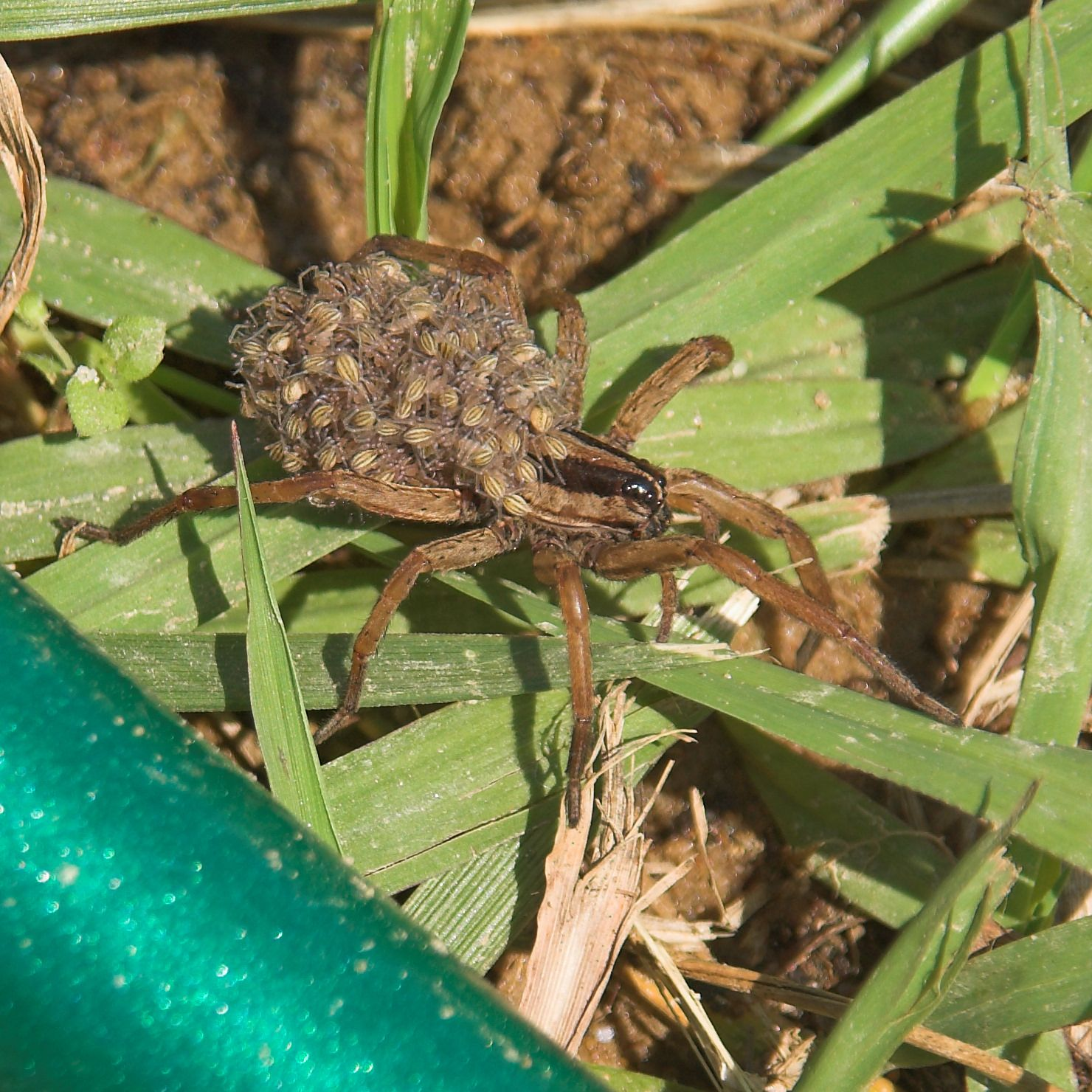he average lifespan of a wolf spider is one season and it