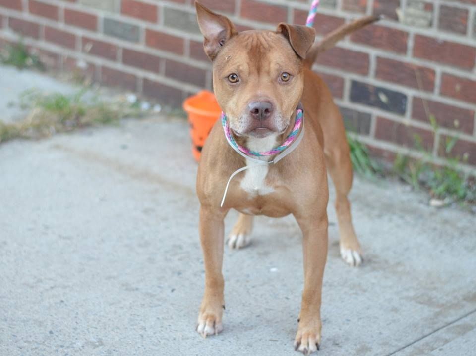GONE --- TO BE DESTROYED - 10/9/14 Brooklyn Center  My name is HARVEY. My Animal ID # is A1016021. I am a male tan and white pit bull mix. The shelter thinks I am about 2 YEARS   **$150 DONATION to the NEW HOPE RESCUE that pulls!**  An additional ***$150 DONATION to NEW HOPE RESCUE that pulls!!***  I came in the shelter as a STRAY on 10/01/2014  https://www.facebook.com/photo.php?fbid=882277735118440