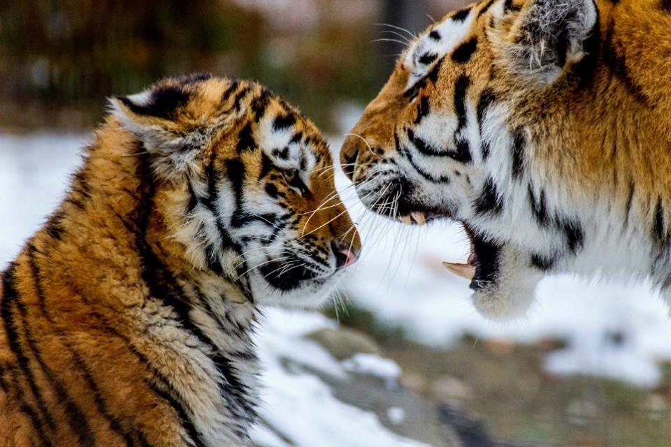 I said no!!!..period. Tigers,Jaguar,Cheetah,Pamther
