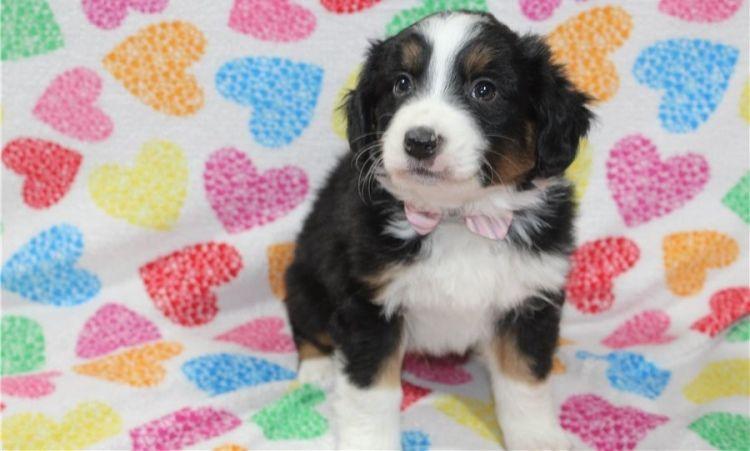 Australian shepherd puppies for sale Dogs & Puppies in
