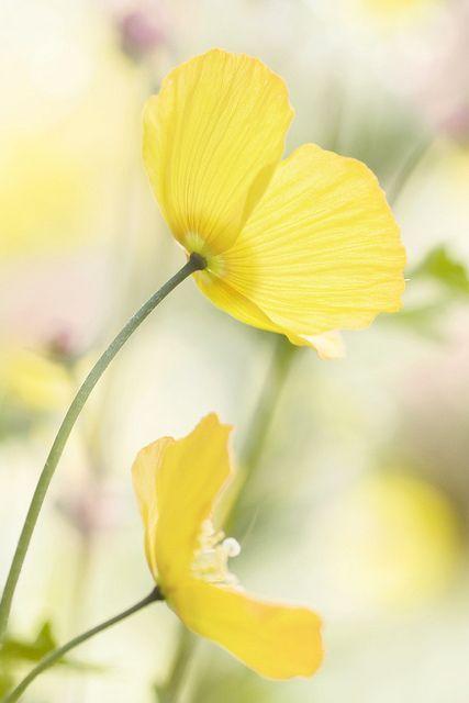 Fiori Gialli Yellow Flowers.Yellow Poppies Bellissimi Fiori Giardino Di Fiori Fiori Gialli