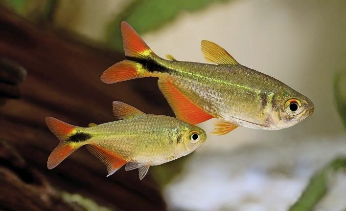 Buenos Aires Tetra In 2020 Tetra Fish Freshwater Aquarium Fish Aquarium Fish