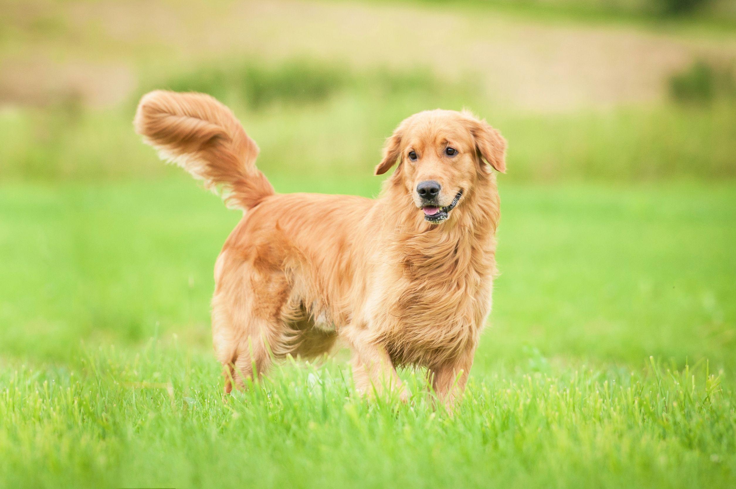 Best Dog Food For Golden Retriever Friendly Dog Breeds Dog