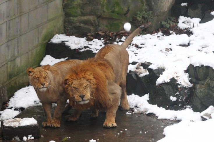 Jan. 6, 2013. Lions in their enclosure react as tourists throw snowballs at them in the Hangzhou Zoo.