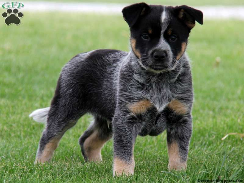 Trent Blue Heeler Mix Puppy For Sale From Gordonville Pa Puppy Dog Pictures Cute Baby Animals Cute Dogs