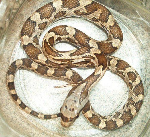 Texas Brown Snake - poisonous ( Poison is not an appropriate