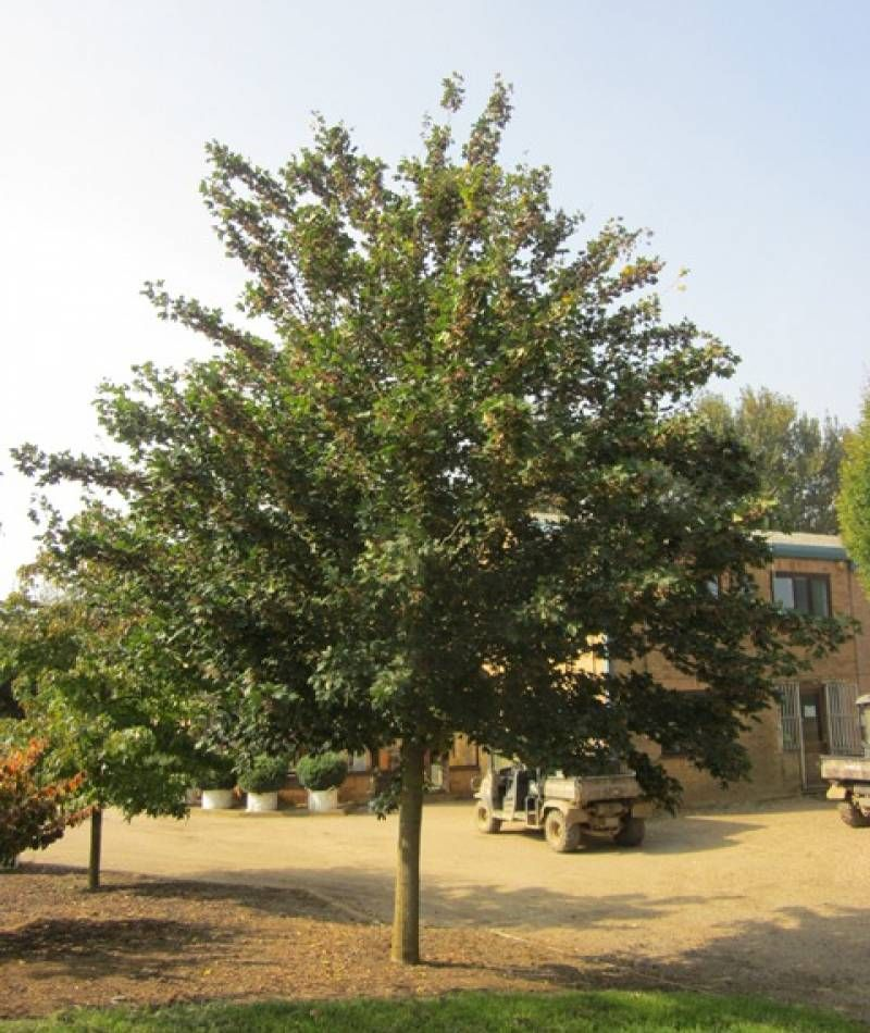 Semi Mature Acer Campestre Louisa Red Shine Outside Barcham Trees