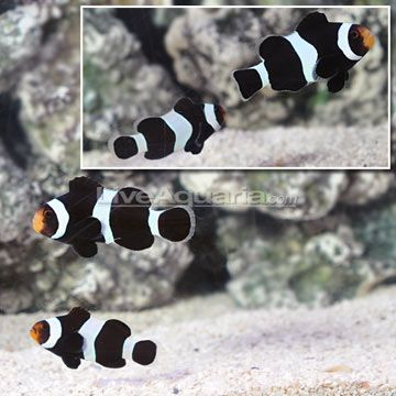 129 99 ora black ocellaris clownfish select pair fish