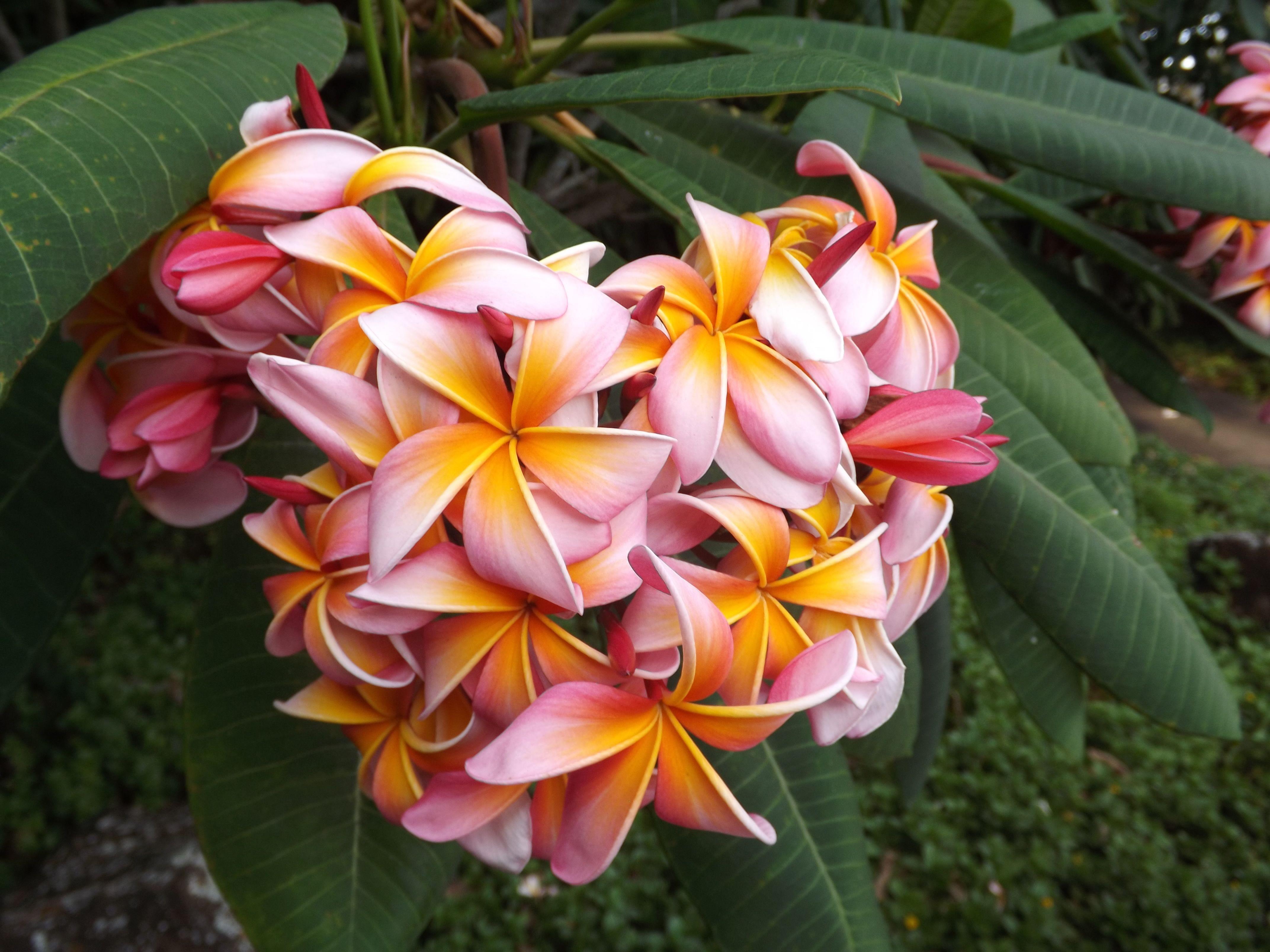 Plumerias hawaiian islands pinterest flowers beautiful plumerias hawaiian islandsamazing flowersheart izmirmasajfo