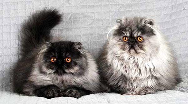о персидских кошках