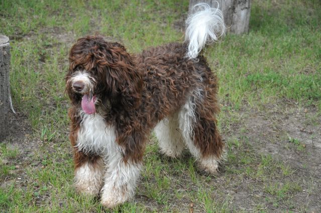 Brown And White Labradoodle Labradoodle Breeders Labradoodle