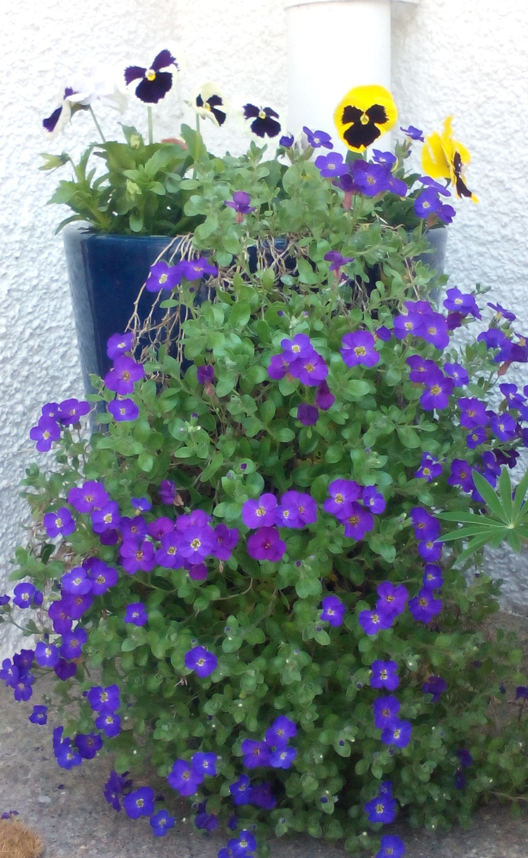 This is my favourite pot at my back door.   I love how the Aubretia cascades down.....