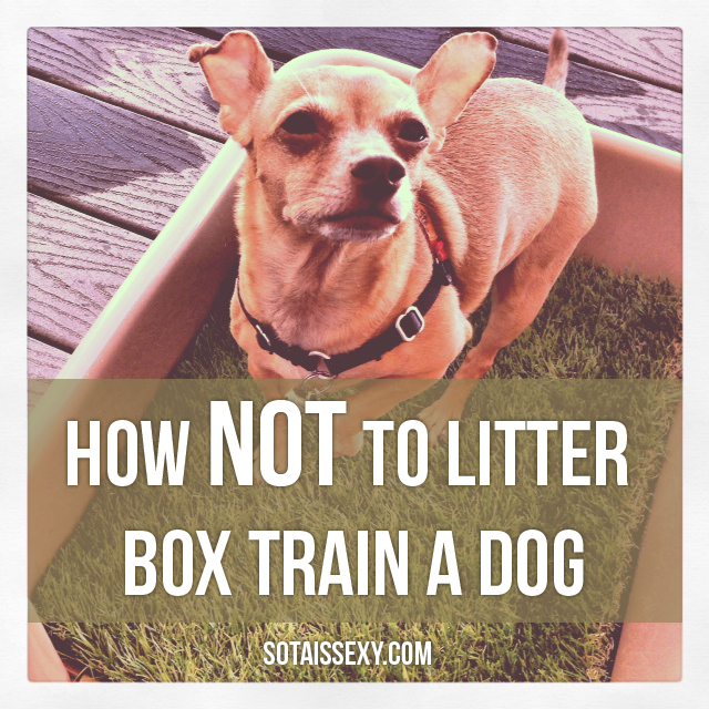 litter box training for puppies (and yes small dogs) Dog