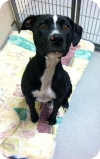 Joplin, MO - Pit Bull Terrier/Labrador Retriever Mix. Meet 81336 Delta Dawn a Dog for Adoption.