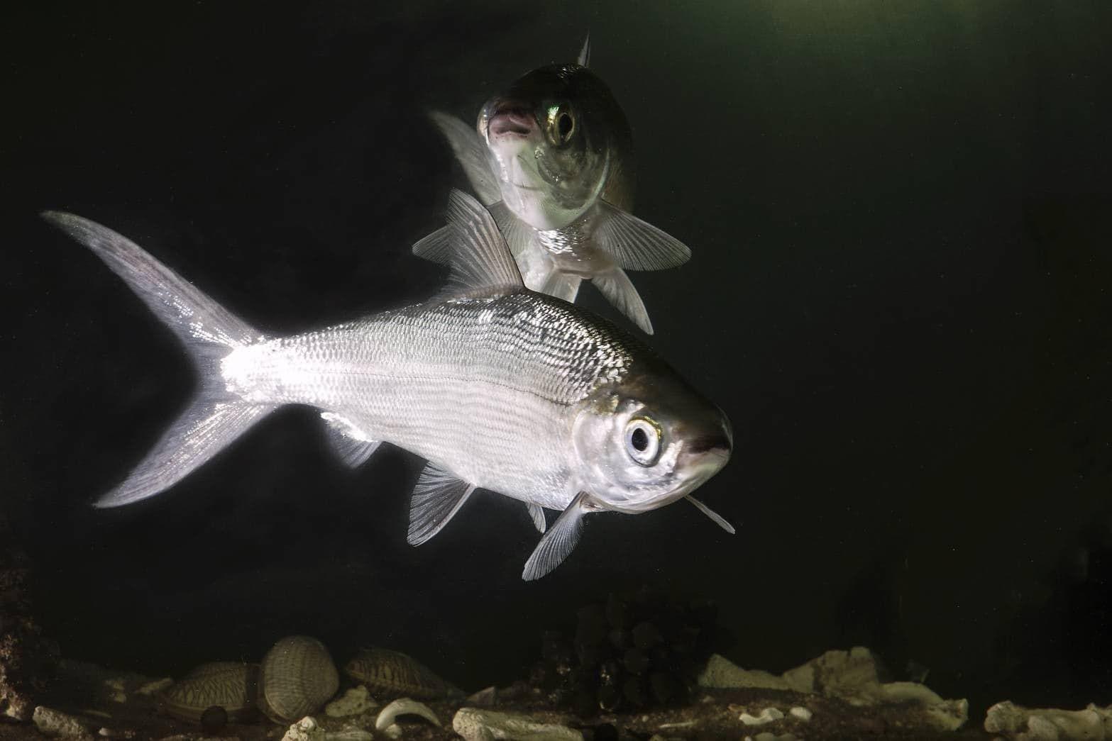ปลานวลจ นทร น ำจ ด หร อ ปลานวลจ นทร Smallscale Mud Carp ปลาน ำจ ด ปลา