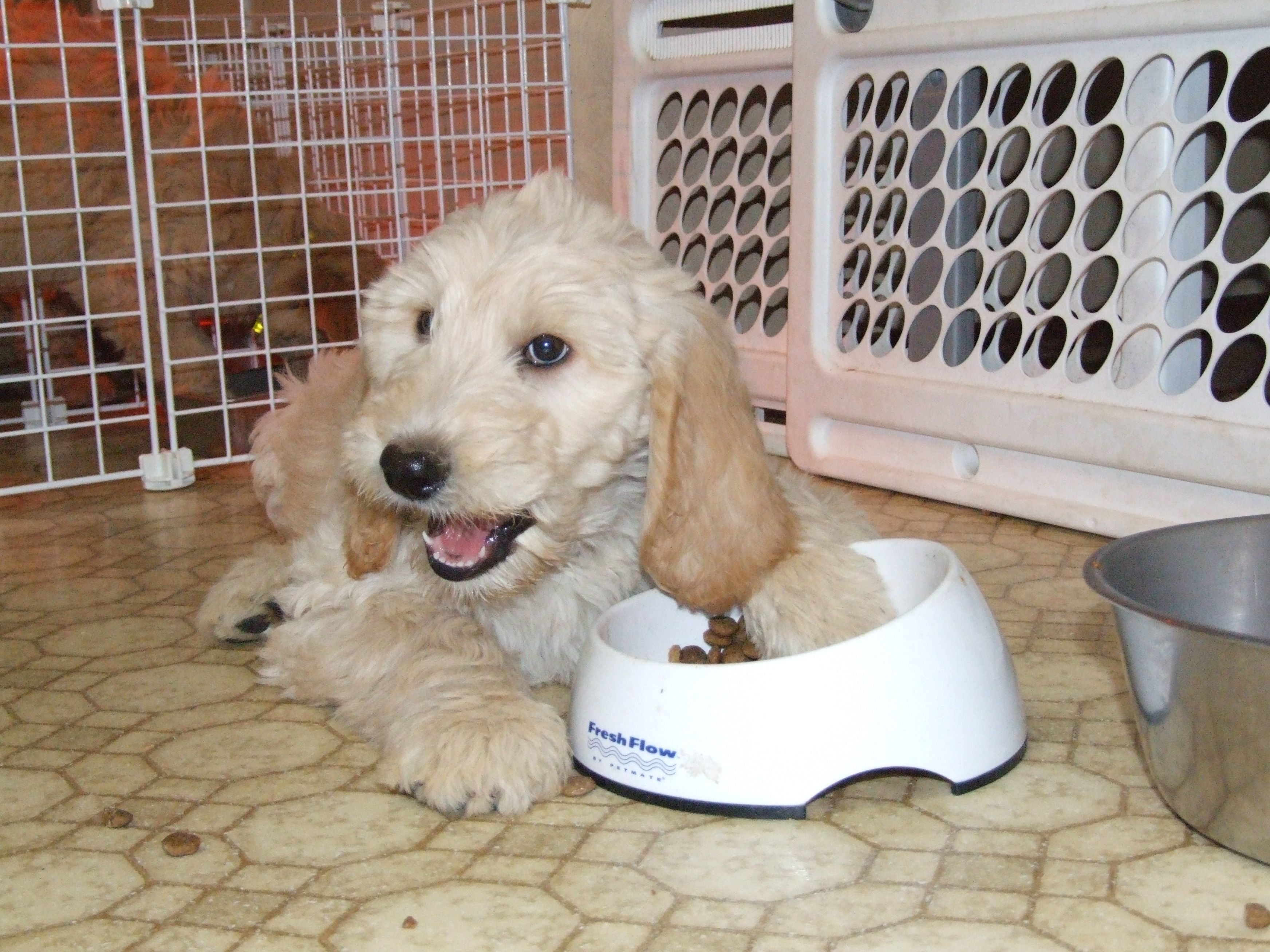 Best Large Breed Puppy Foods Aussiedoodle And Labradoodle Puppies