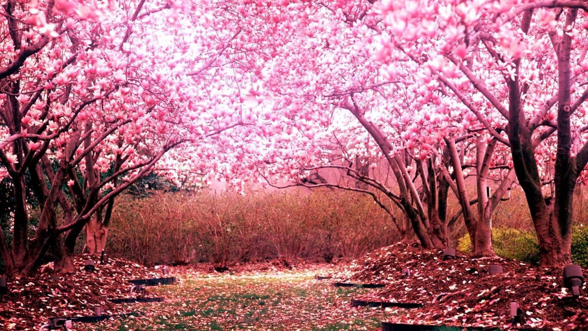 Cherry Blossom Trees [1920 1080] | Cherry blossom wallpaper