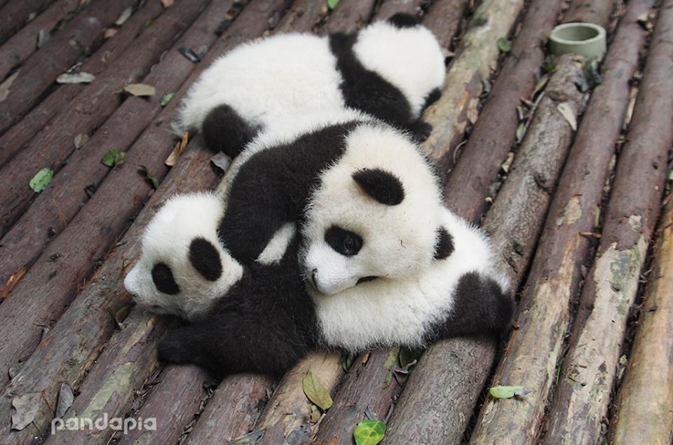 Panda Beb Animales Tiernos Animales Panda Bebe Y Perros