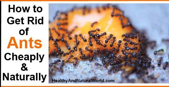 Cupboard Ant Ants Elkhorn Cupboard