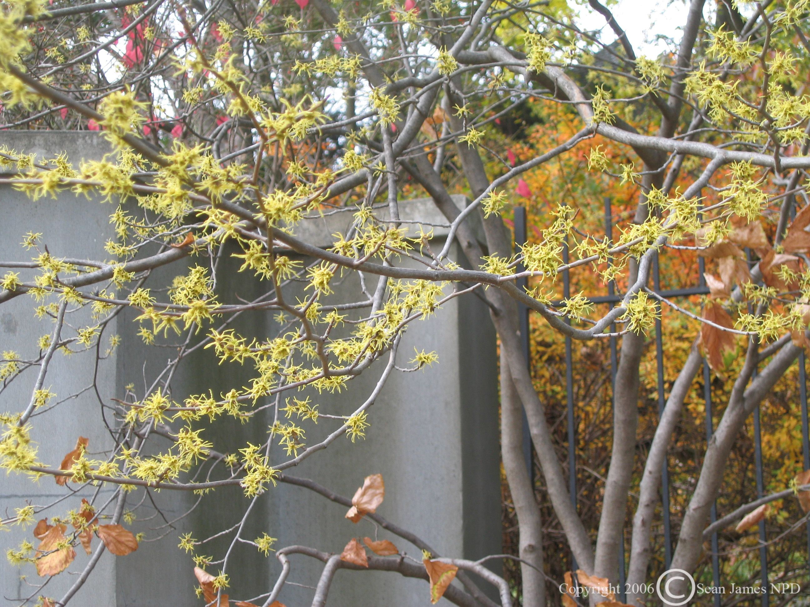 Witch Hazel Hamamelis Virginiana Is A Really Interesting Plant
