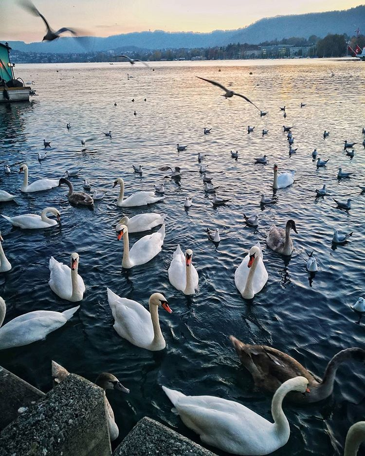 Zurich Switzerland Lake Zurich Swans Swan Lake in 2019