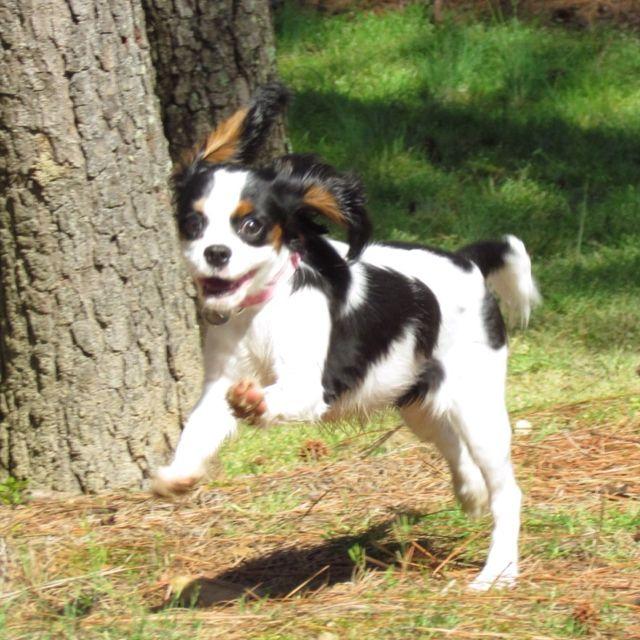 My Cavalier King Charles Spaniel Puppy Pippa At 6 Months Old Happy Gi King Charles Cavalier Spaniel Puppy Cavalier King Charles Spaniel Cavalier King Charles