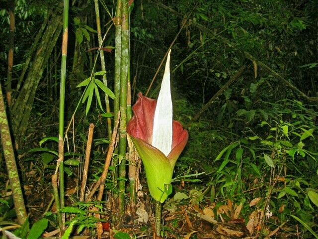 A Verr Rare Titam Anum Found On Mount Singgai Bau Sarawak Also Known As Corpse Flower Give Out Awful Smell Like Thos Corpse Flower Attracting Bees Sarawak