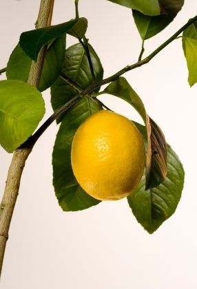 Meyer Lemon Fragrant Blooms Throughout Year Can Bear Fruit Yearlong If Grown On Its Own Roots In Orlando Clim In 2020 Meyer Lemon Tree Meyer Lemon Tree Care