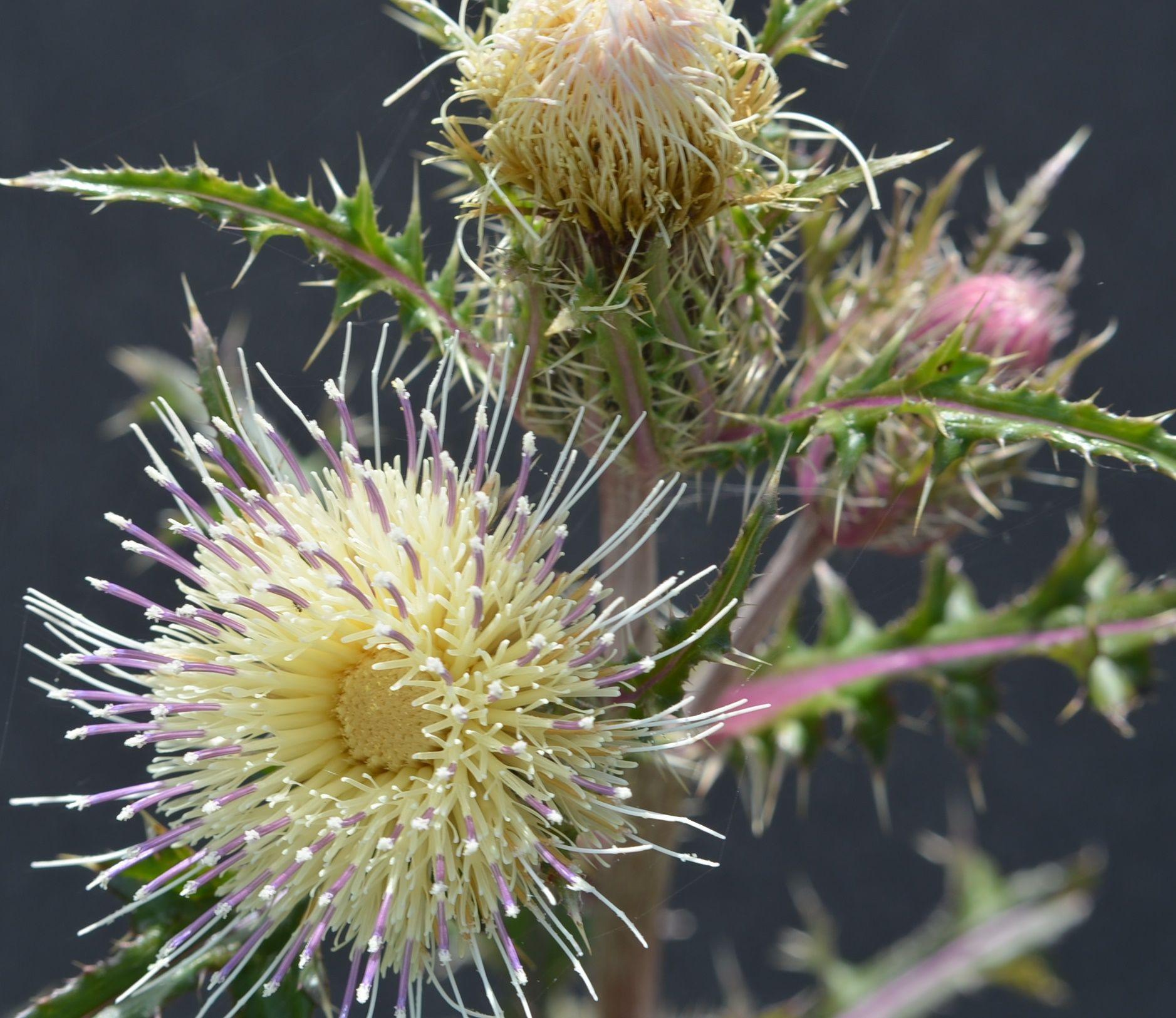 Yellow Thistle Mississippi Flower Power Pinterest